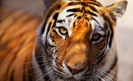 Tiger in the Novosibirsk zoo